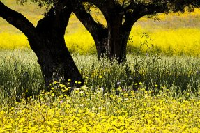 somber-olive-trees-in-yellow-flower-fields-jose-antunes