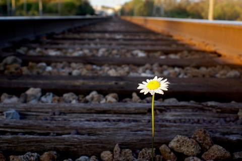 daisy-on-railroad-track.jpg.480x0_q71_crop-scale